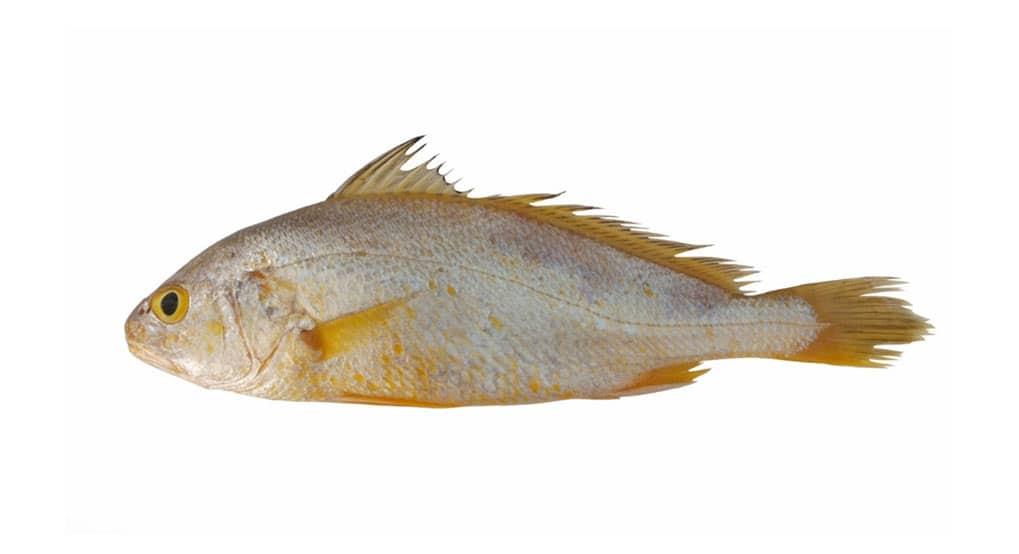 corvina poisson