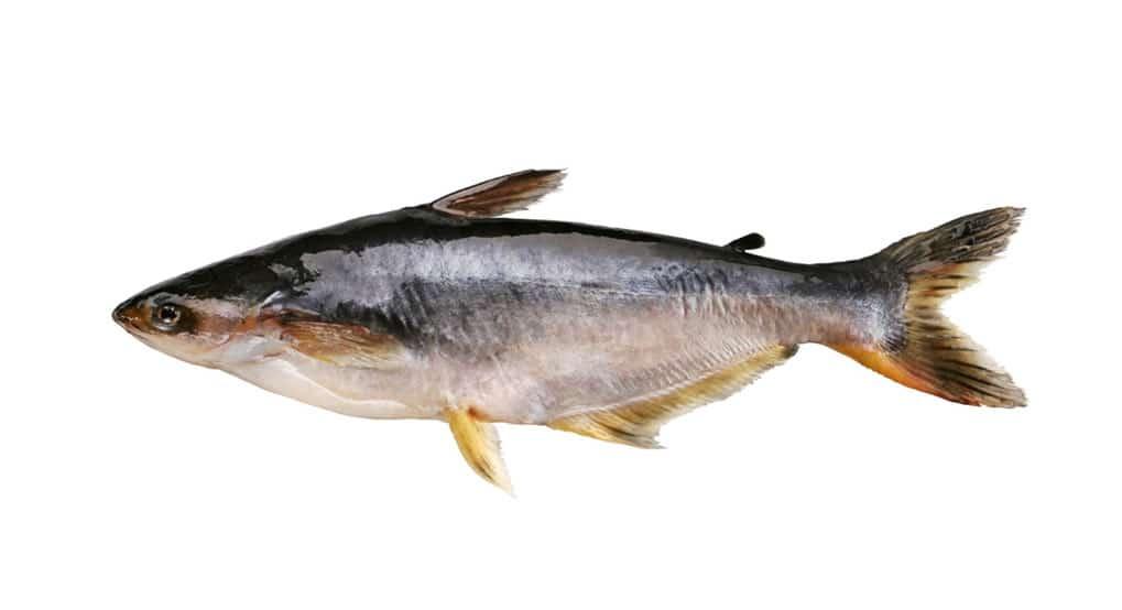 pangas poisson