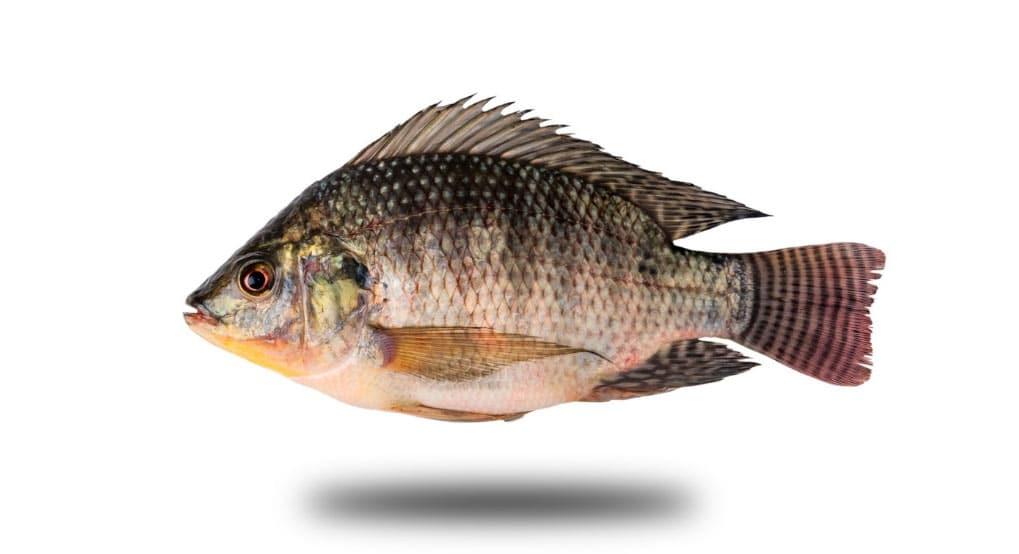 tilapia poisson